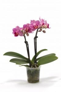 Phalaenopsis Little Lady 2T Vivian_Plant