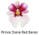 Orchideeen soorten39