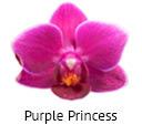 Orchideeen soorten52