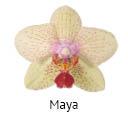 Orchideeen soorten86