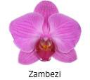 Orchideeen soorten94